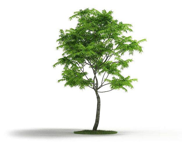 thin trunk tall tree 3d model obj 1