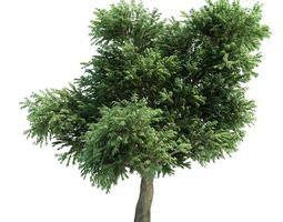 tree   arbutus menziesii 3d