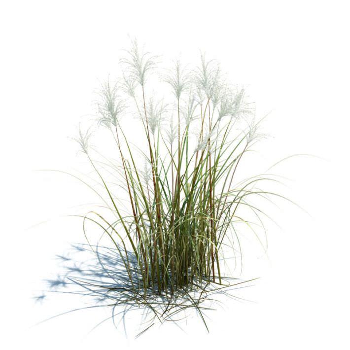 Amur Silver Grass