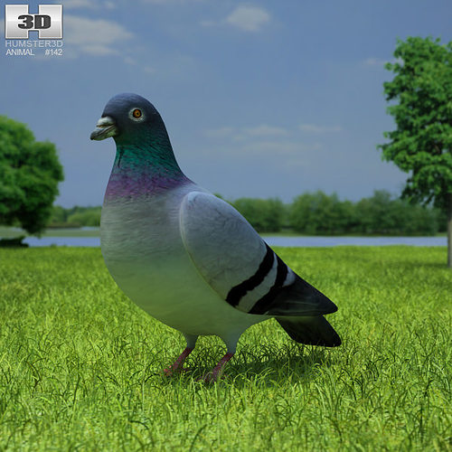 rock dove columba livia 3d model low-poly max obj mtl 3ds fbx c4d lwo lw lws 1