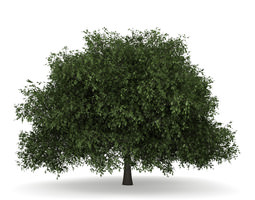 English Oak 1 Quercus robur 3D model