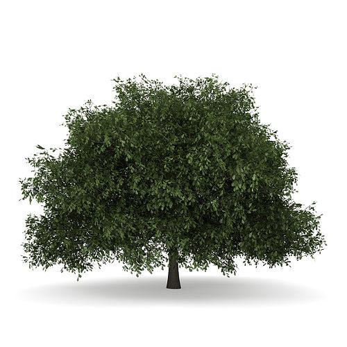 english oak 1 quercus robur 3d model max obj mtl fbx c4d 1