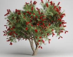 Bottlebrush Tree 3D model