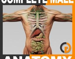 human male anatomy - body muscles skeleton organs lymphatic 3d model max obj 3ds fbx c4d lwo lw lws