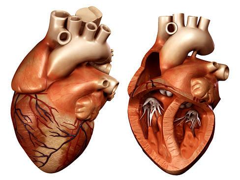 heart 3d model max obj mtl 3ds lwo lw lws ma mb tga 1