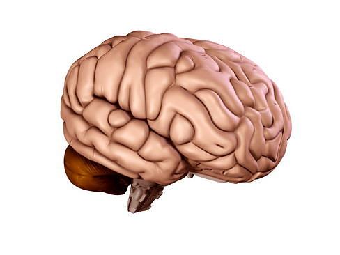 brain 3d model max obj mtl 3ds c4d lwo lw lws ma mb 1