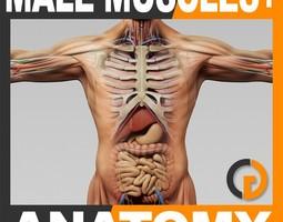 human male anatomy - body muscles skeleton and internal organs 3d model max obj 3ds fbx c4d lwo lw lws