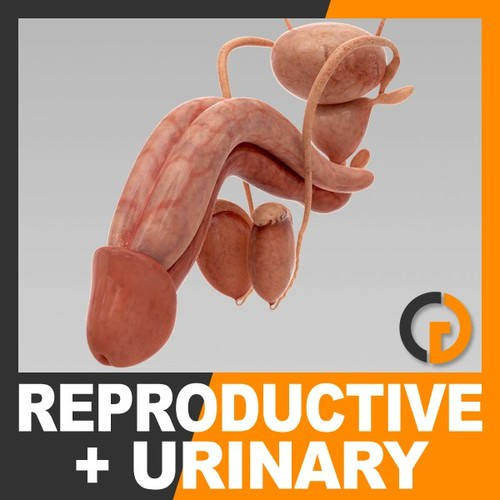 human urinary and reproductive system - anatomy 3d model max obj 3ds fbx c4d lwo lw lws 1