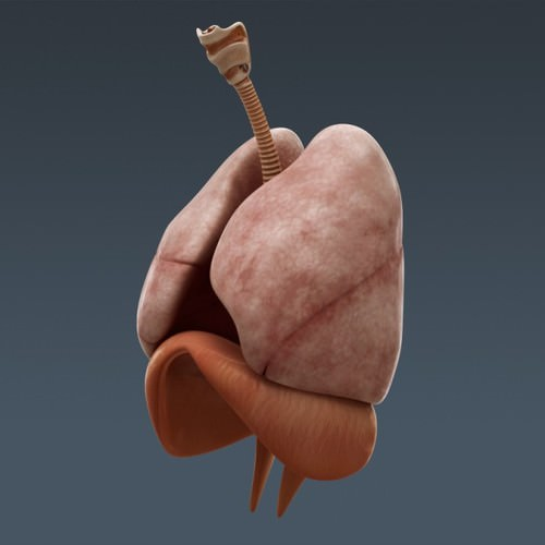 human body internal organs - anatomy 3d model max obj 3ds fbx c4d lwo lw lws 29