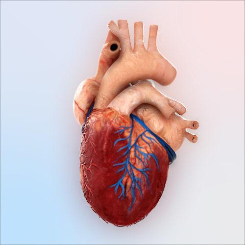 3D Human Heart | CGTrader