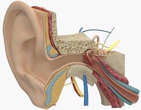 Ear Anatomy 3D model