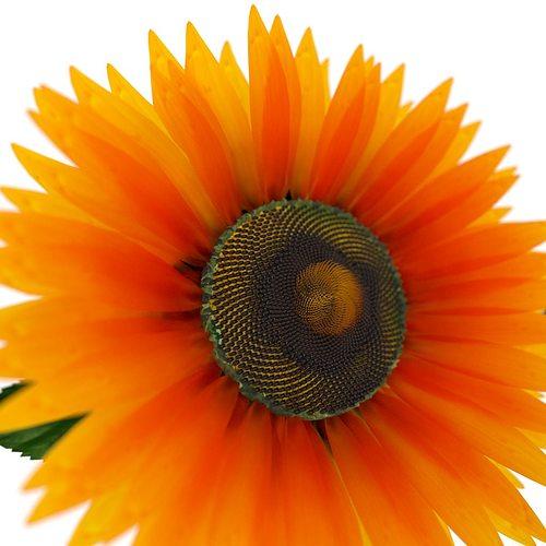 sunflower 3d model rigged animated obj blend 1