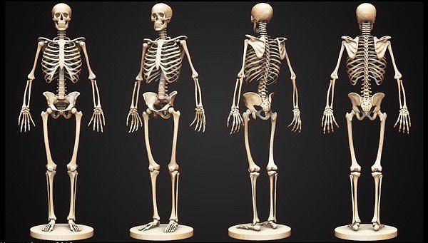 3D model Skeleton | CGTrader