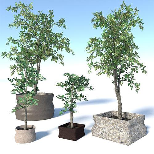 potted ficus benjamina trees set 3d model low-poly max obj mtl 3ds fbx blend dae 1