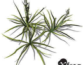 XfrogPlants Annual Blue Grass 3D model