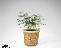 XfrogPlants Asparagus Fern 3D Model