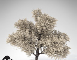 xfrogplants yoshino cherry tree 3d model