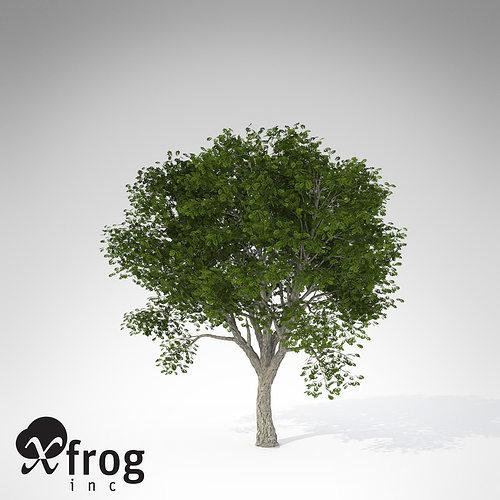 xfrogplants amur corktree 3d model max obj mtl 3ds c4d lwo lw lws ma mb 1