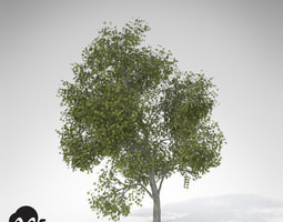 xfrogplants japanese maple 3d