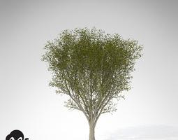 xfrogplants japanese zelkova 3d model