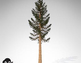 XfrogPlants Giant Sequoia 3D