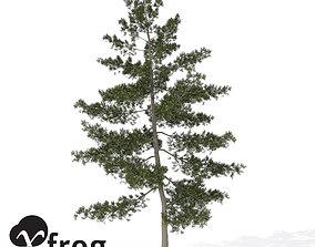 3D XfrogPlants Eastern White Pine