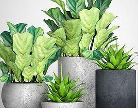 3D Ficus lyrata pots