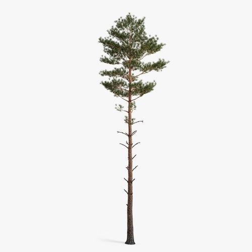 scots pine 3d model max obj fbx mtl 1