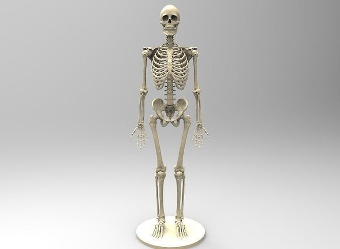3D printable model Human Skeleton human-anatomy | CGTrader