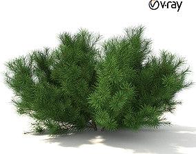 Pinus mugo tree 3D