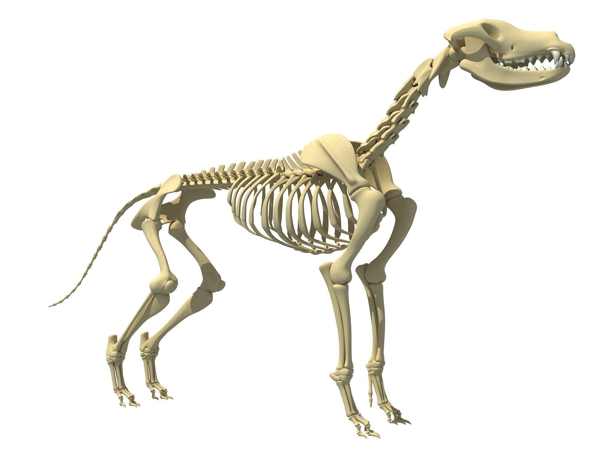 Realistic Dog Skeleton