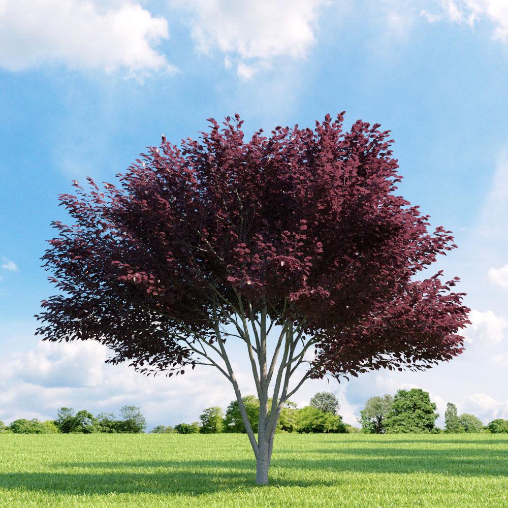 Prunus blireana 013 v2 AM136