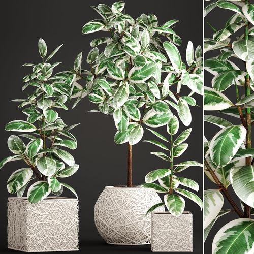 ficus robusta tree  3d model max obj mtl fbx unitypackage prefab 1