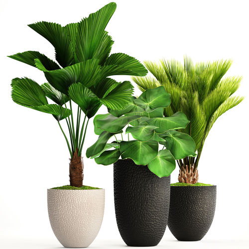 Palm In Pot.Palms In Pots 3d Model