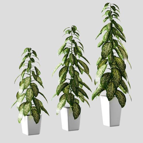 plant in the pot - dieffenbachia - 3 models 3d model max obj fbx mtl 1