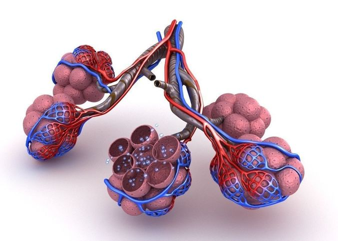 3d Model Alveoli In Lungs Blood Saturating By Oxygen