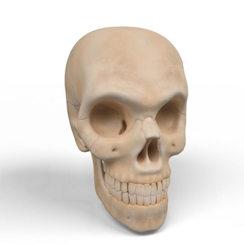 3d Male Human Skull Anatomy Cgtrader