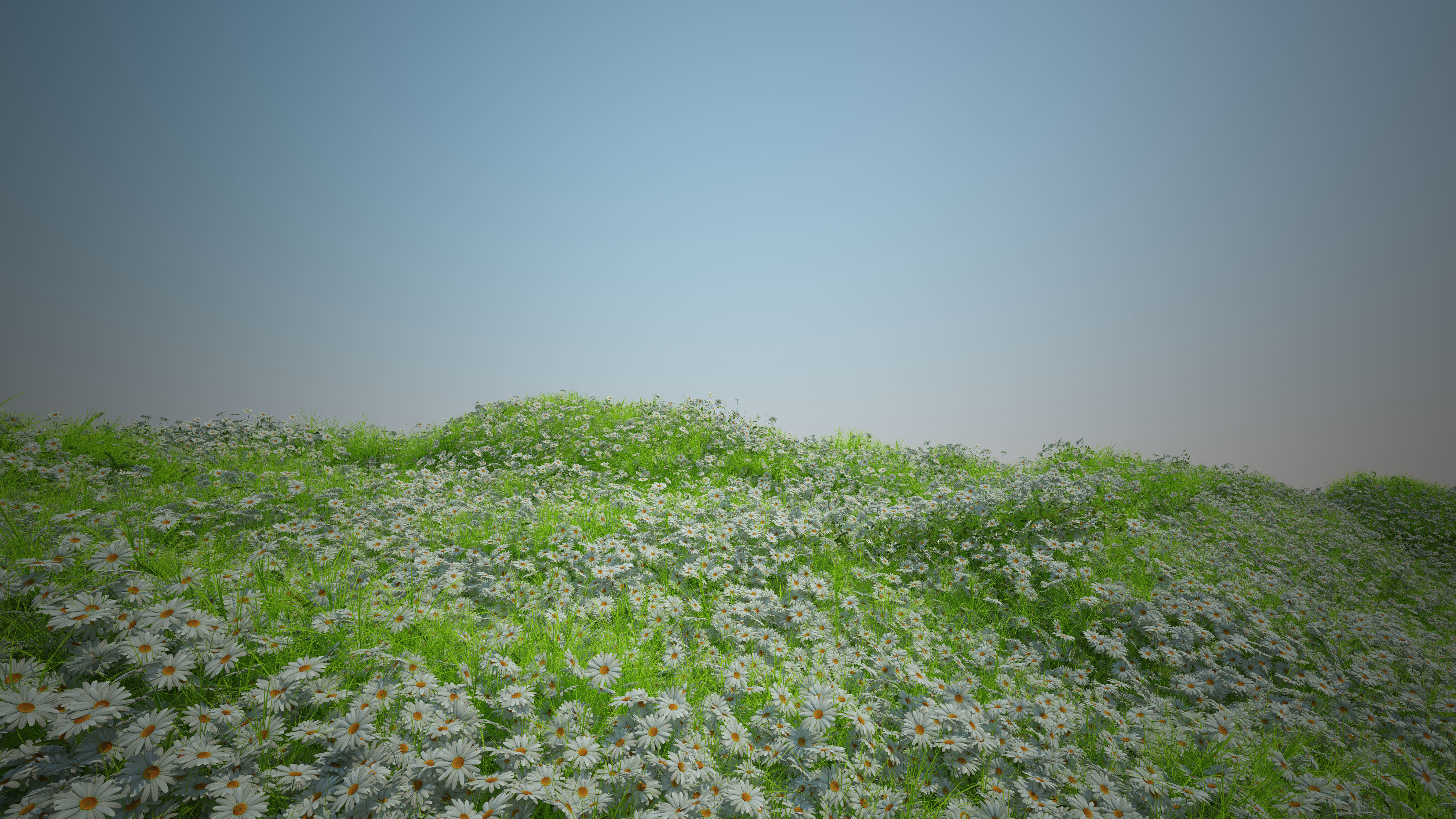 Camomile and  Coastal grass and Plant