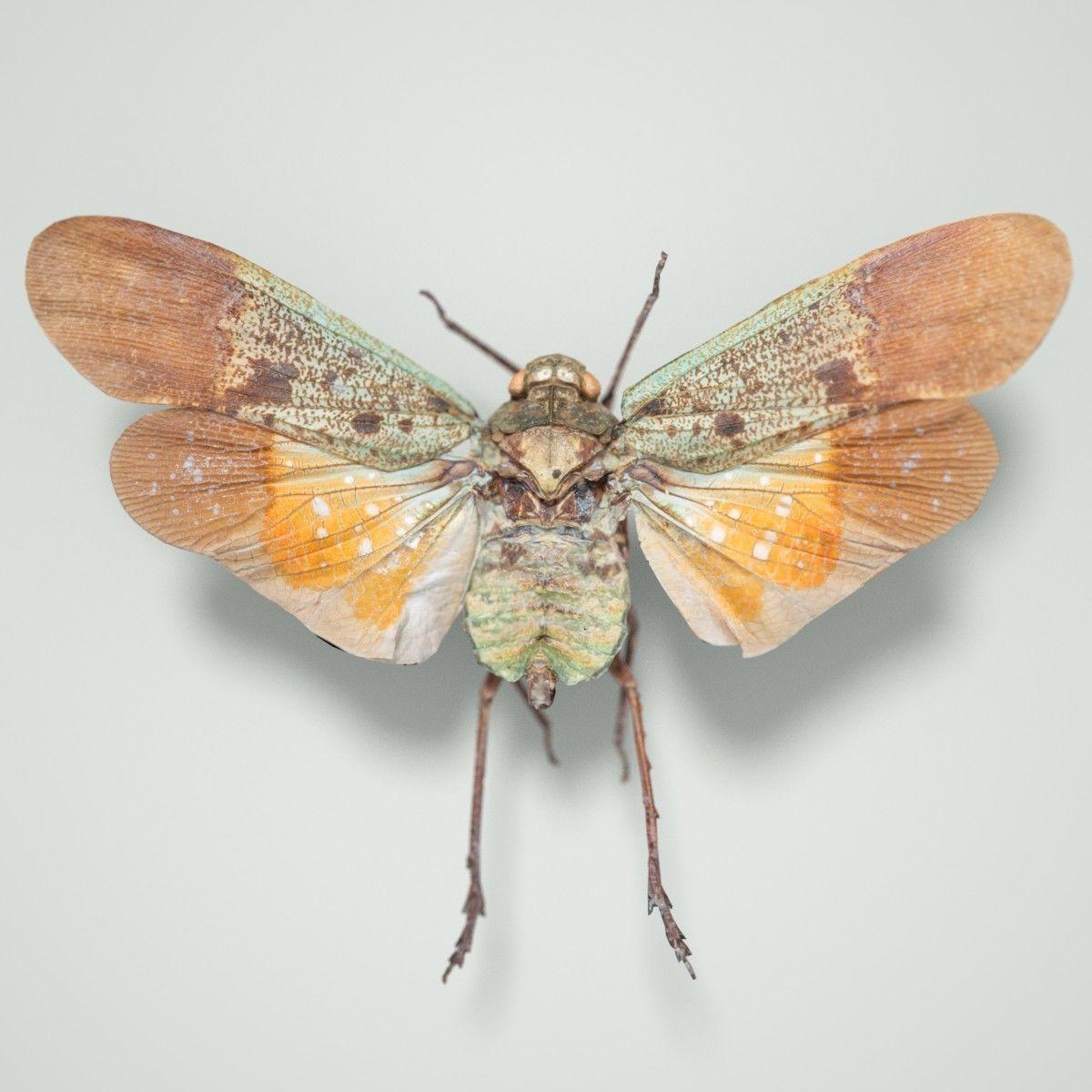 Cicada Penthicoides Farinosa Borneo Insect