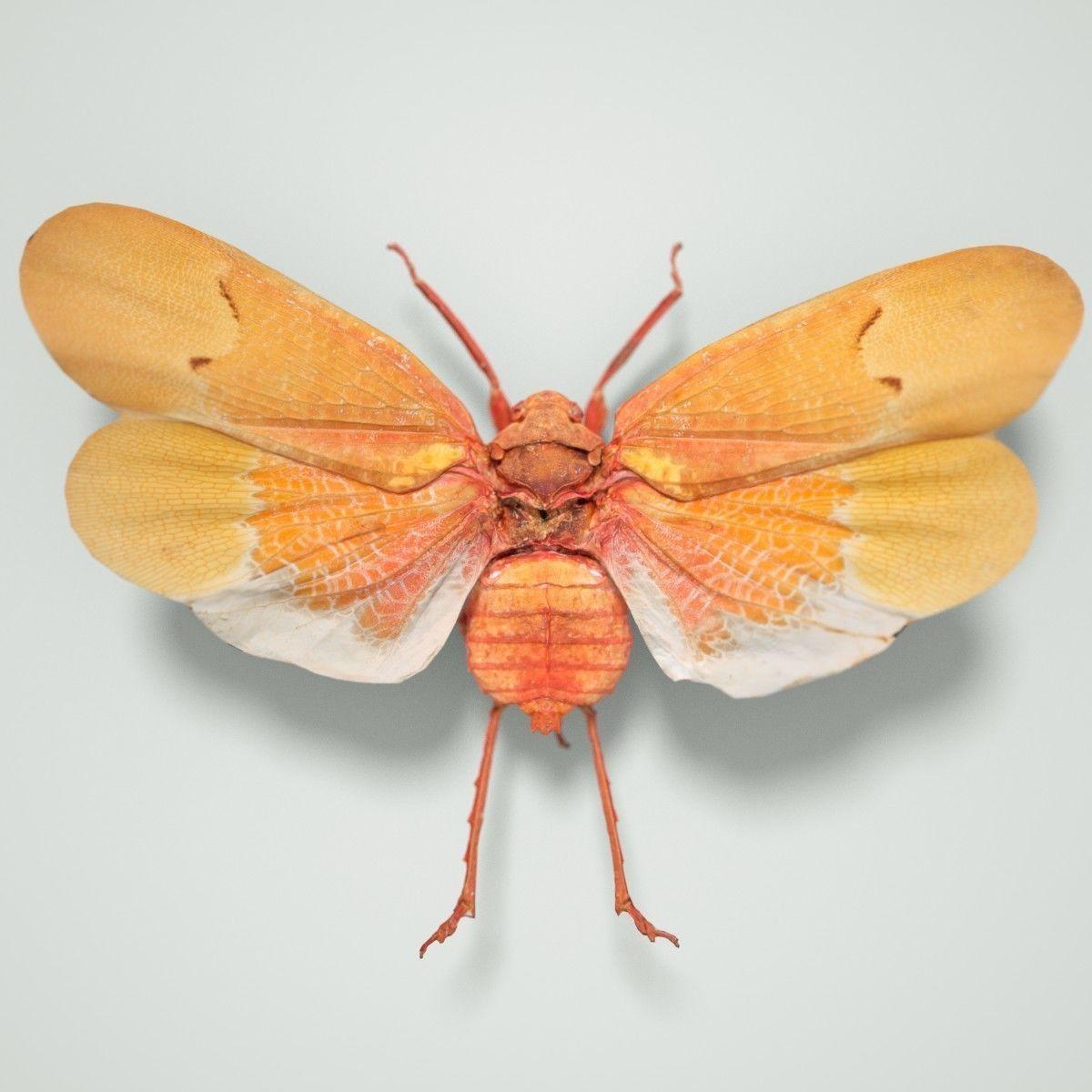 Cicada Scamandra Sanguiflua Sulawesi Insect