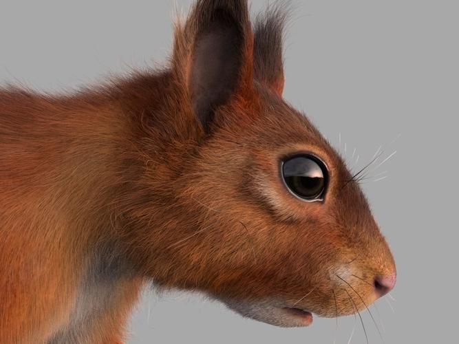 squirrel  3d model obj mtl c4d abc 1