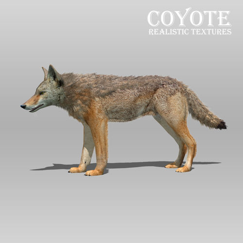 coyote animated 3d model low-poly rigged animated max obj mtl 3ds fbx tga 1