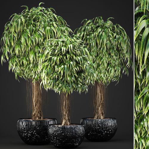 ficus alii trees 3d model max obj mtl fbx unitypackage prefab 1