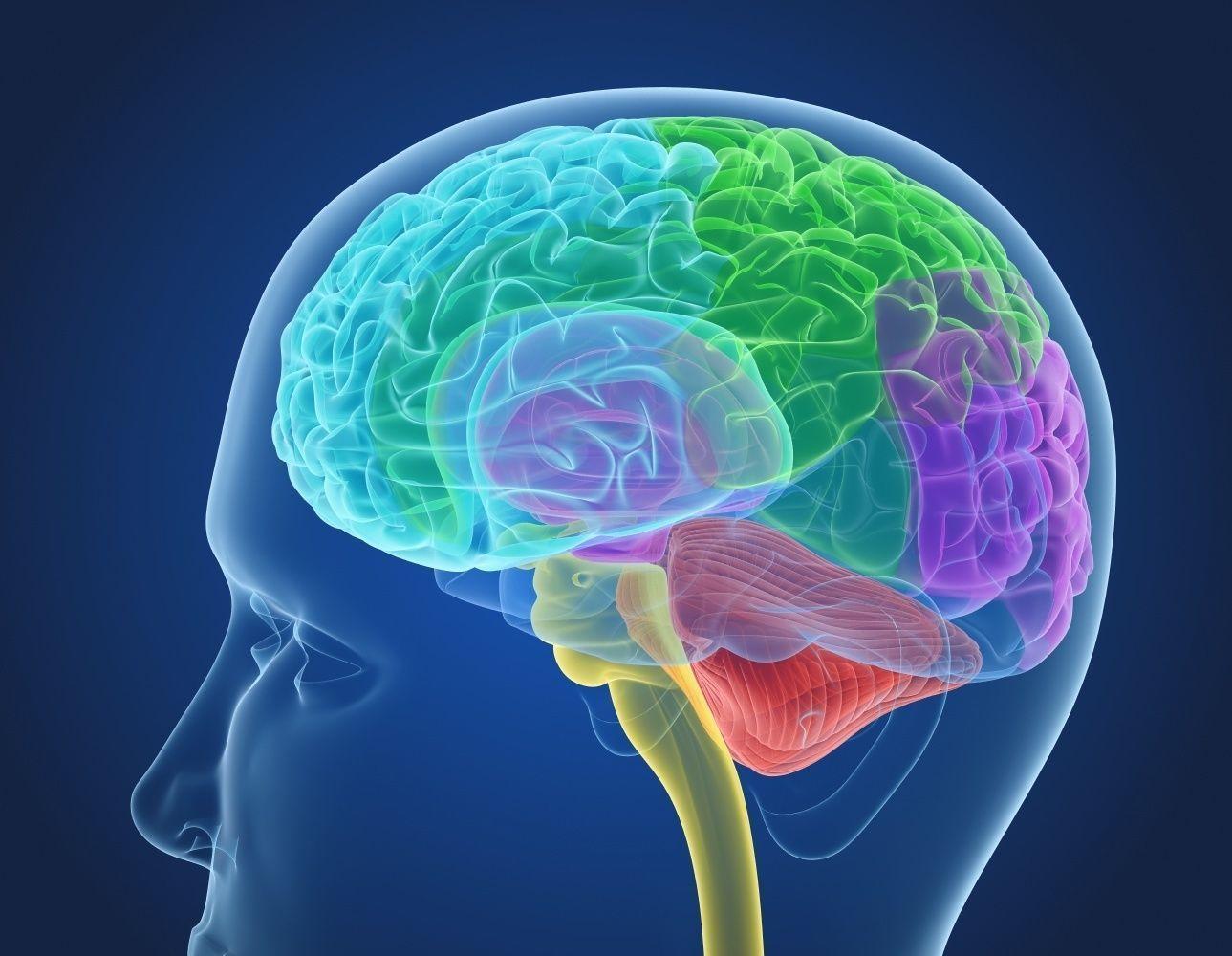Xray Brain anatomy with inner structure