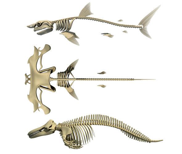 Sharks Skeletons 3d Models Anatomy Cgtrader