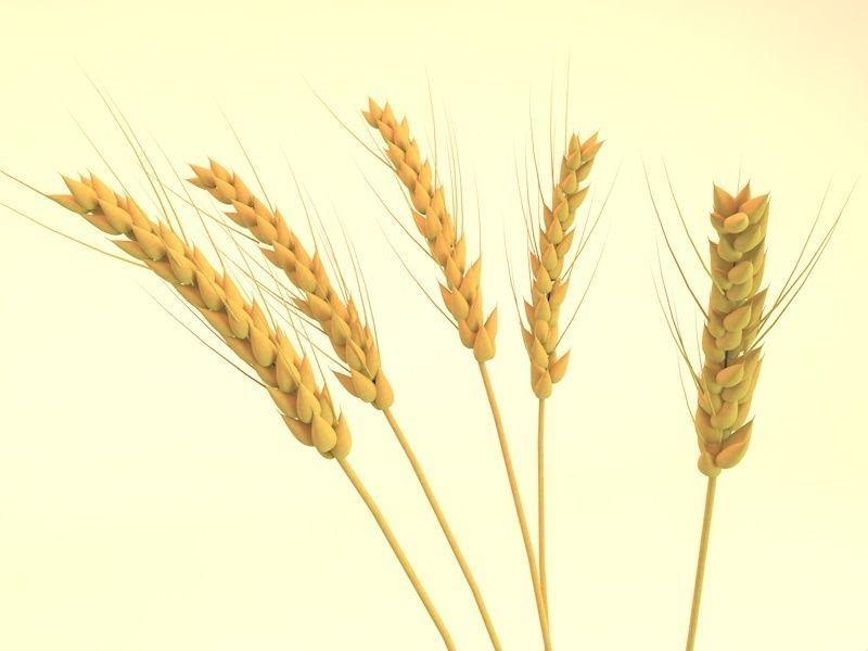 ears of wheat | 3D model