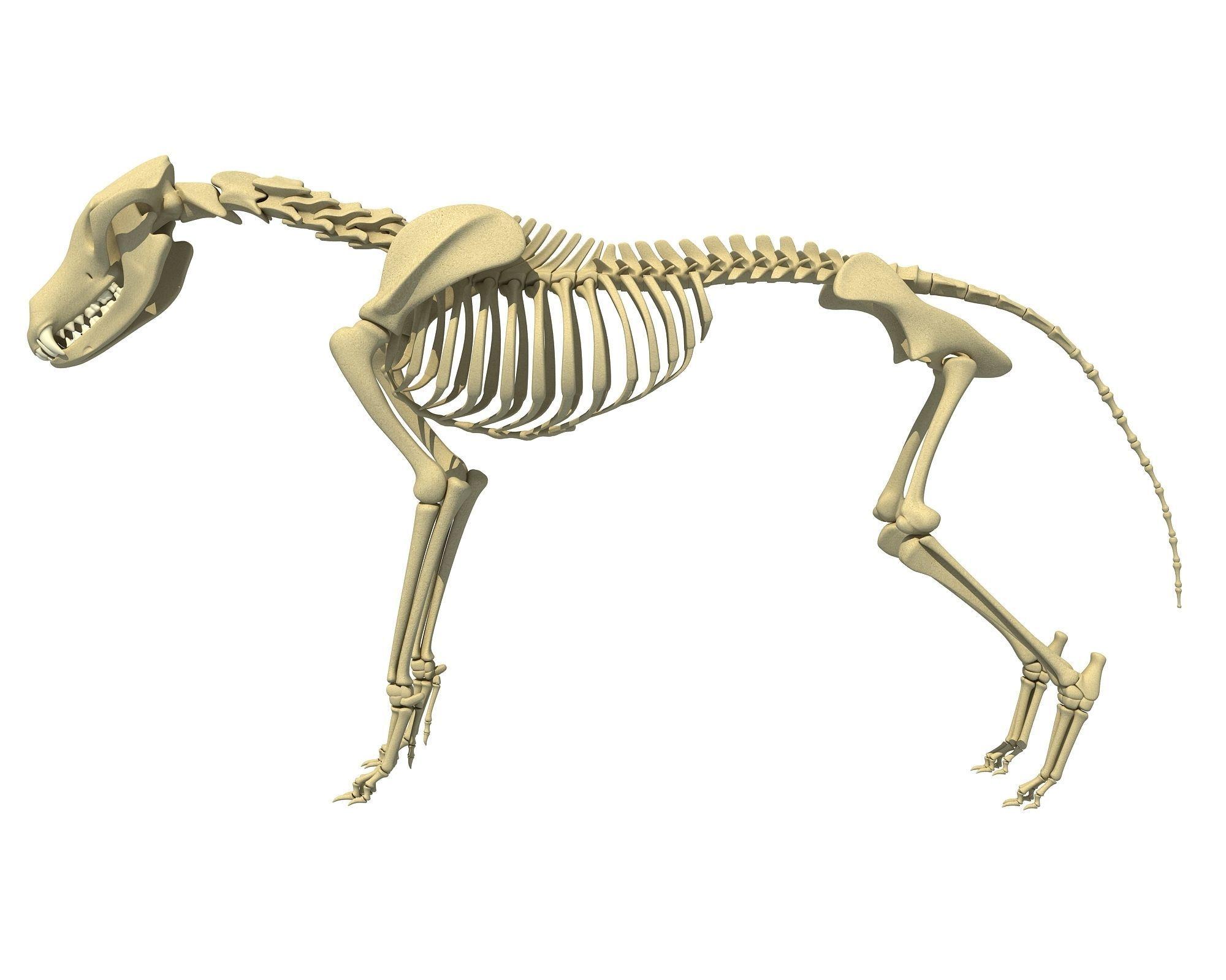 Wolf Skeleton | 3D model