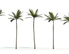 3D Palm Archontophoenix Tree