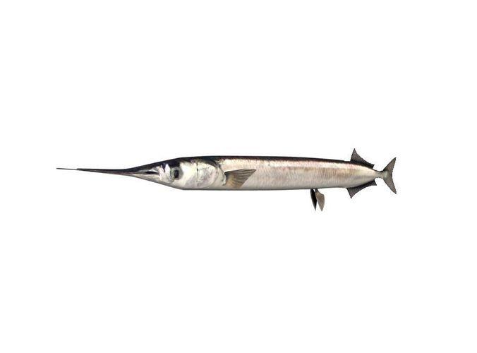 garfish sea needle fish belone belone 3d model max obj 3ds fbx c4d lwo lw lws 1