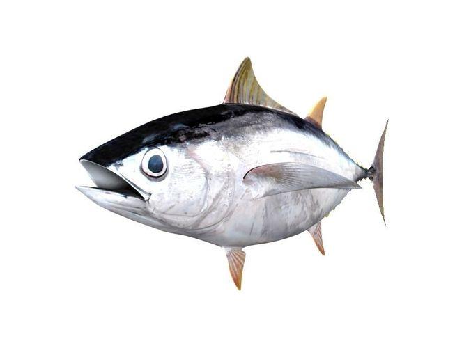Albacore tuna fish thunnus alalunga 3d model cgtrader for How to make tuna fish